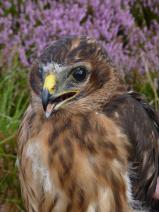 Older female hen harrier credit T Birch Derbyshire Wildlife Trust